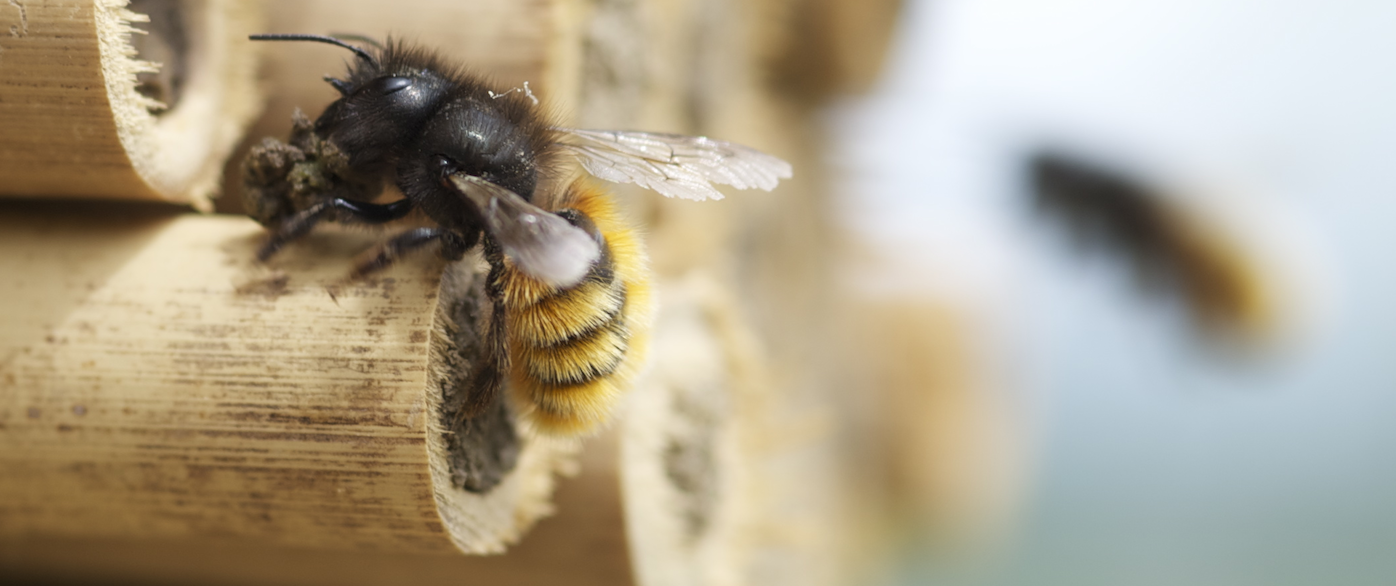 Osmia Cornuta Swiss Bee O Diversity